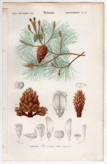 1849年 D'Orbigny 万有博物事典 Pl.29 マツ科 マツ属 フランスカイガンショウ Pinus maritima