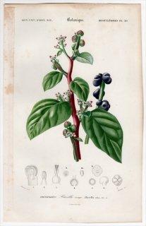 1849年 D'Orbigny 万有博物事典 Pl.20 ツルムラサキ科 ツルムラサキ属 ツルムラサキ Basella rubra