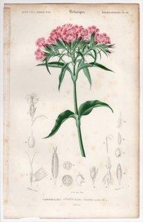 1849年 D'Orbigny 万有博物事典 Pl.10 ナデシコ科 ナデシコ属 アメリカナデシコ Dianthus barbatus