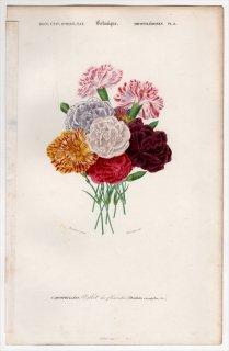 1849年 D'Orbigny 万有博物事典 Pl.8 ナデシコ科 ナデシコ属 カーネーション Dianthus caryophyllus