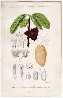 1849年 D'Orbigny 万有博物事典 Pl.2 バンレイシ科 ポポー属 ポーポー Asimina triloba
