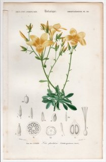 1849年 D'Orbigny 万有博物事典 Pl.38 アマ科 アマ属 Linum glandulosum