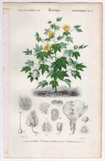 1849年 D'Orbigny 万有博物事典 Pl.11 アオイ科 ワタ属 Gossypium vitifolium