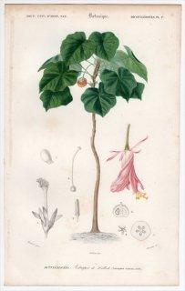 1849年 D'Orbigny 万有博物事典 Pl.17 アオイ科 ドンベア属 Astrapoea wallichii