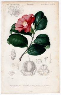 1849年 D'Orbigny 万有博物事典 Pl.28 ツバキ科 ツバキ属 ツバキ Camellia japonica