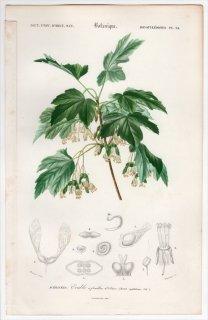 1849年 D'Orbigny 万有博物事典 Pl.24 ムクロジ科 カエデ属 イタリアンメープル Acer opulifolium
