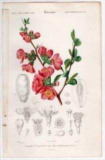 1849年 D'Orbigny 万有博物事典 Pl.33 バラ科 ボケ属 クサボケ Cydonia japonica