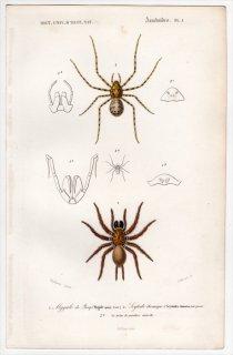 1849年 D'Orbigny 万有博物事典 Pl.1 ニュージーランドジョウゴグモ科 ポロテレ属 ヤマシログモ科 ユカタヤマシログモ
