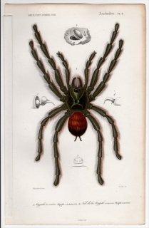1849年 D'Orbigny 万有博物事典 Pl.2 オオツチグモ科 オオツチグモ属 ピンクトウタランチュラ Mygale avicularia