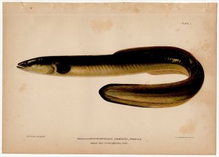 1899年 Bowers プエルトリコの水産資源 Pl.1 ウナギ科 ウナギ属 アメリカウナギ ANGUILLA CHRYSYPA RAFINESQUE