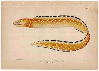 1899年 Bowers プエルトリコの水産資源 Pl.2 ウツボ科 ウツボ属 LYCODONTIS JORDANI
