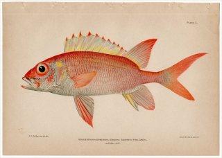1899年 Bowers プエルトリコの水産資源 Pl.3 イットウダイ科 ノボリエビス属 ノボリエビス HOLOCENTRUS ASCENSIONIS