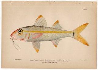 1899年 Bowers プエルトリコの水産資源 Pl.5 ヒメジ科 アカヒメジ属 キセンアカヒメジ UPENEUS MARTINICUS