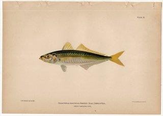 1899年 Bowers プエルトリコの水産資源 Pl.8 アジ科 ムロアジ属 クロホシムロアジ DECAPTERUS PUNCTATUS