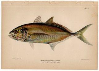 1899年 Bowers プエルトリコの水産資源 Pl.9 アジ科 ギンガメアジ属 クロカイワリ CARANX CRYSOS