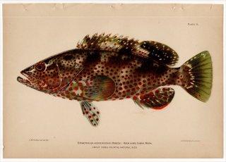 1899年 Bowers プエルトリコの水産資源 Pl.11 ハタ科 マハタ属 EPINEPHELUS ADSCENSIONIS
