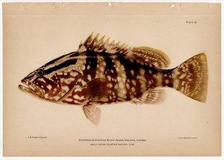 1899年 Bowers プエルトリコの水産資源 Pl.12 ニベ科 ナガニベ属 シマニベ EPINEPHELUS STRIATUS