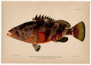 1899年 Bowers プエルトリコの水産資源 Pl.13 ハタ科 マハタ属 シロブチハタ EPINEPHELUS MACULOSUS
