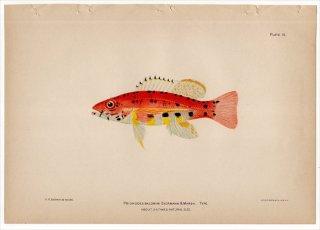 1899年 Bowers プエルトリコの水産資源 Pl.15 ハタ科 ヒメスズキ属 ランターンバス PRIONODES BALDWINI