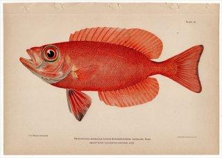 1899年 Bowers プエルトリコの水産資源 Pl.16 キントキダイ科 キントキダイ属 ベニキントキダイ PRIACANTHUS ARENATUS