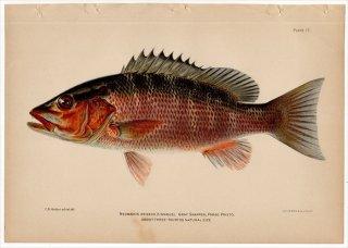 1899年 Bowers プエルトリコの水産資源 Pl.17 フエダイ科 フエダイ属 ネズミフエダイ NEOMAENIS GRISEUS