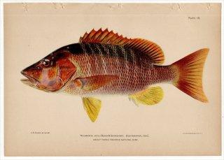 1899年 Bowers プエルトリコの水産資源 Pl.18 フエダイ科 フエダイ属 キビレフエダイ NEOMAENIS JOCU