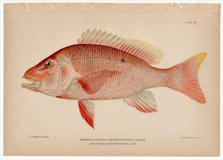 1899年 Bowers プエルトリコの水産資源 Pl.20 フエダイ科 フエダイ属 NEOMAENIS AYA