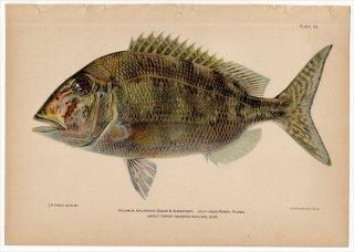 1899年 Bowers プエルトリコの水産資源 Pl.25 タイ科 アメリカギンダイ属 ジョルトヘッドポギー CALAMUS BAJONADO