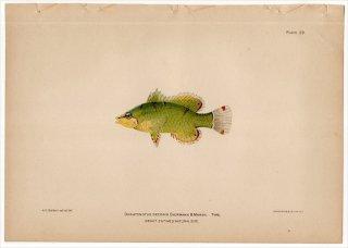 1899年 Bowers プエルトリコの水産資源 Pl.29 ベラ科 ドラトノツス属 DORATONOTUS DECORIS
