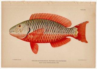 1899年 Bowers プエルトリコの水産資源 Pl.30 ブダイ科 ムナテンブダイ属 ムナテンブダイ SPARISOMA ABILDGAARDI