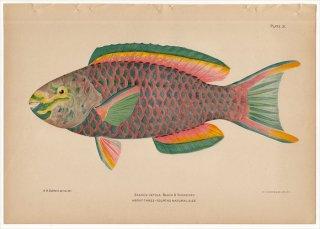 1899年 Bowers プエルトリコの水産資源 Pl.31 ブダイ科 アオブダイ属 クイーンパロットフィッシュ SCARUS VETULA