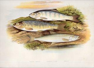 1879年 Houghton 英国の淡水魚類 キュウリウオ科 キュウリウオ SMELT サケ科 マス タイセイヨウサケ
