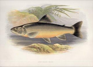 1879年 Houghton 英国の淡水魚類 サケ科 イワナ属 LOCH KILLIN CHARR