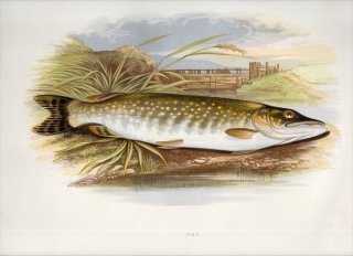 1879年 Houghton 英国の淡水魚類 カワカマス科 カワカマス属 ノーザンパイク PIKE