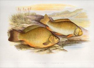 1879年 Houghton 英国の淡水魚類 コイ科 フナ属 ヨーロッパブナ CRUCIAN CARP ギベリオブナ PRUSSIAN CARP