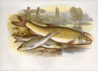 1879年 Houghton 英国の淡水魚類 コイ科 バルブス属 バーベル BARBEL ゴビオ属 ヨーロッパカマツカ GUDGEON