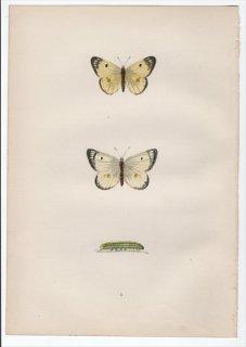 1890年 Morris 英国蝶類史 Pl.5 シロチョウ科 モンキチョウ属 PALE CLOUDED YELLOW