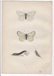 1890年 Morris 英国蝶類史 Pl.6 シロチョウ科 ミヤマシロチョウ属 エゾシロチョウ BLACK VEINED