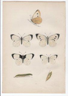 1890年 Morris 英国蝶類史 Pl.7 シロチョウ科 モンシロチョウ属 オオモンシロチョウ LARGE WHITE