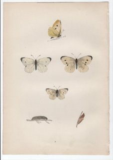 1890年 Morris 英国蝶類史 Pl.8 シロチョウ科 モンシロチョウ属 モンシロチョウ SMALL WHITE