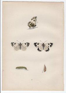 1890年 Morris 英国蝶類史 Pl.10 シロチョウ科 チョウセンシロチョウ属 チョウセンシロチョウ CHEQUERED WHITE