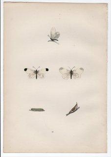 1890年 Morris 英国蝶類史 Pl.11 シロチョウ科  ヒメシロチョウ属 WOOD WHITE