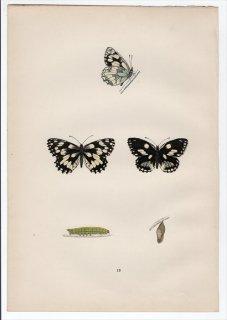1890年 Morris 英国蝶類史 Pl.13 タテハチョウ科 シロジャノメ属 ヨーロッパシロジャノメ MARBLED WHITE