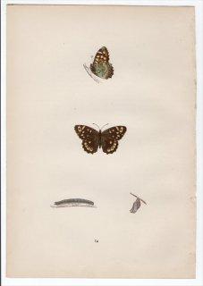 1890年 Morris 英国蝶類史 Pl.14 タテハチョウ科 モリジャノメ属 キマダラジャノメ WOOD ARGUS