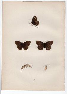 1890年 Morris 英国蝶類史 Pl.15 タテハチョウ科 アファントプス属 リングレット WOOD RINGLET