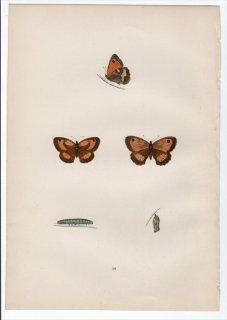 1890年 Morris 英国蝶類史 Pl.18 タテハチョウ科 ピロニア属 ゲイトキーパー SMALL MEADOW BROWN