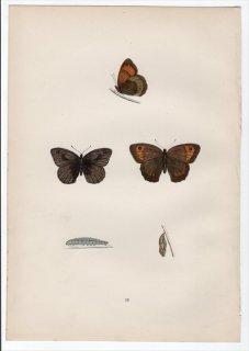 1890年 Morris 英国蝶類史 Pl.19 タテハチョウ科 マキバジャノメ属 メドウブラウン LARGE MEADOW BROWN
