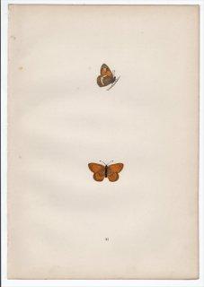 1890年 Morris 英国蝶類史 Pl.21 タテハチョウ科 ヒメヒカゲ属 スモールヒース LEAST MEADOW BROWN