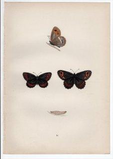 1890年 Morris 英国蝶類史 Pl.22 タテハチョウ科 ベニヒカゲ属 クモマベニヒカゲ ARRAN ARGUS
