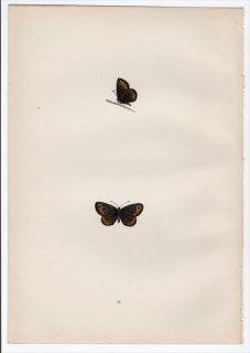 1890年 Morris 英国蝶類史 Pl.24 タテハチョウ科 ベニヒカゲ属 SMALL RINGLET